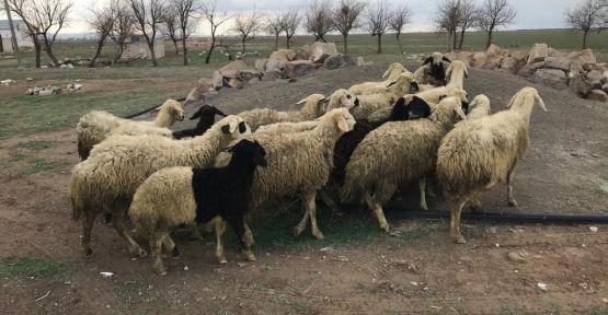 19 koyunu çalan şahıslar yakalandı