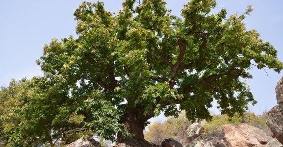 5 Asırlık Ağaca Seyir Terası