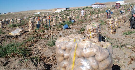 700 Bin Ton Patates Tarlada Kaldı
