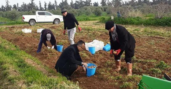 Kıbrısta Yerli Ve Milli Hasat Yapıldı