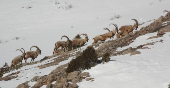 Niğde'de 18 Yaban Keçisi Avı Yapılacak