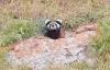 Bor'da Alaca Sansar Türü Görüldü