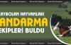 Kaybolan büyükbaş hayvanları Jandarma buldu