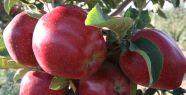 Erkenci Elma Hasadı başladı